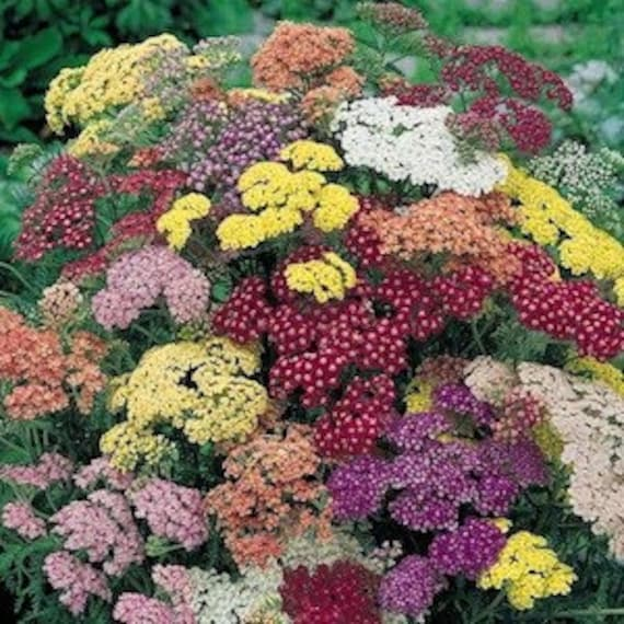 Great Yarrow Seeds, Summer Pastels, Colorado Mix, Flower Garden, Drought  Resistant, 25 Seeds From CheapSeeds On Etsy Studio