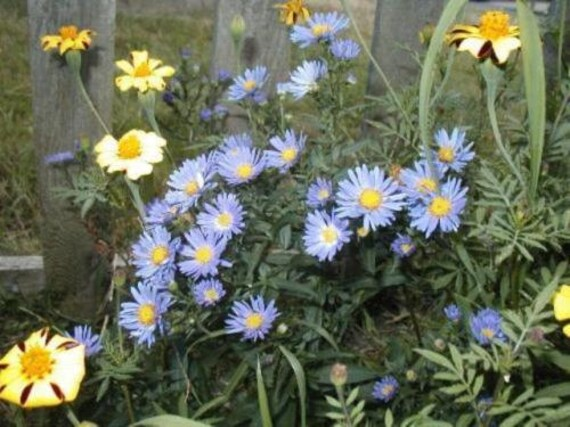 500 New England Aster Seeds Perennial BULK SEEDS