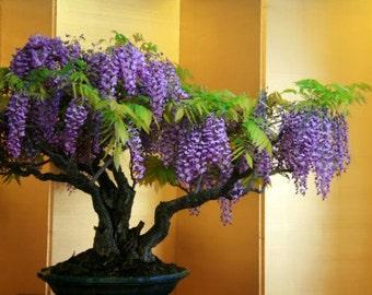 Bonsai Tree, Chinese Wisteria Bonsai, Tree Seeds, Very Fragrant, Purple Flower, Office or Home Decor, 5 Seeds