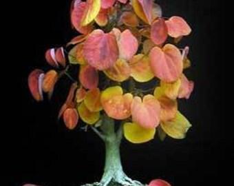 Bonsai Tree Seeds Katsura Many Colored Leaves, Smells Like Cotton Candy, 5 Seeds
