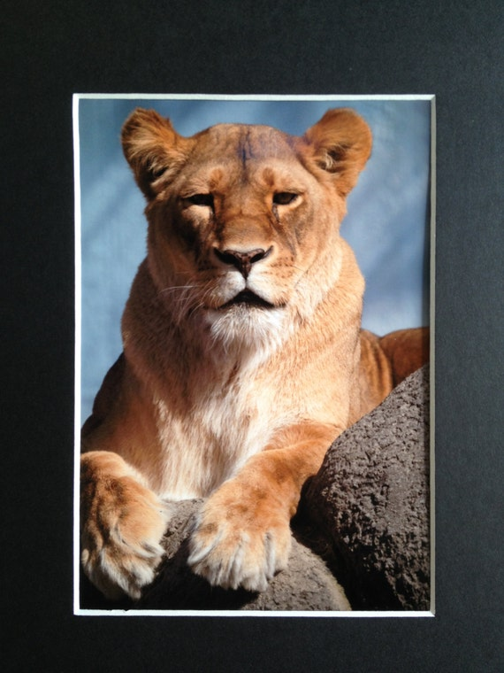 Female Lion Lioness Art Print 5x7 with 8x10 Matt Ready To Frame