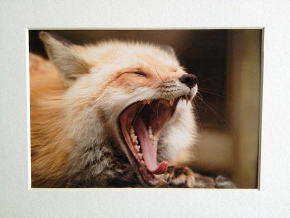 What Does The Fox Say? Photo Art Print YAWNING FOX 5x7 print with 8x10 matt