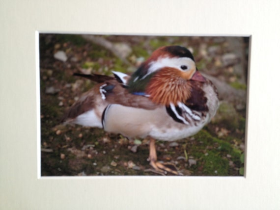Mandarin Duck Photo 5x7 with 8x10 matt
