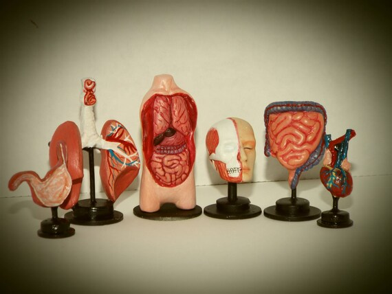 Doll miniature handcrafted intestine model hospital medical exam 1//12th scale
