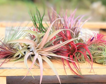10 Pack Premium Grab Bag of Medium + Large Air Plants + Fertilizer Packet - 30 Day Guarantee - Beautiful When They Bloom - FAST SHIPPING