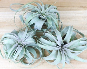 3 Pack of Large Tillandsia Xerographica Air Plants - 5-7 Inches Wide - The Queen of Air Plants - 30 Day Air Plant Guarantee - FAST SHIPPING