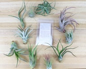 10 Pack of Small Medium Grab Bag Air Plants Fertilizer Packet - 30 Day Air Plant Guarantee - Beautiful When They Bloom - FAST SHIPPING