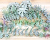 Wholesale Air Plant Pack - 33 Medium Plants 15 Ionanthas - 30 Day Air Plant Guarantee- FAST FREE SHIPPING - Variety Pack