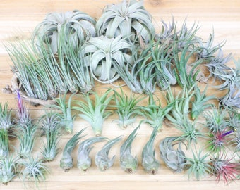 Exotic FAST SHIPPING Air Plants for Sale Collector/'s Choice Set of 10 Specialty Air Plants 30 Day Air Plant Guarantee /& Large Rare
