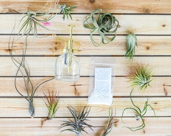 10 Pack - Air Plant Grab Bag of Small & Medium Plants + Tillandsia Fertilizer and Air Plant Mister - Fast Shipping - 30 Day Guarantee