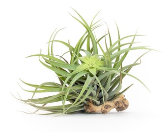 Tillandsia Capitata Salmon Air Plant - Small and Large Sizes - 30 Day Air Plant Guarantee - Fast Shipping