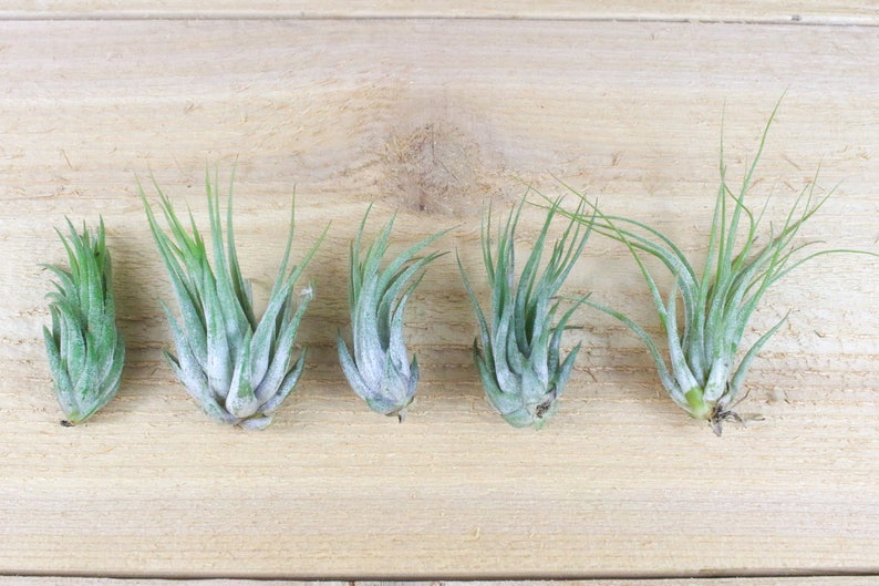 30 Day Air Plant Guarantee 3 Pack of Ionantha Scaposa Air Plants FAST SHIPPING Air Plants for Sale Spectacular Blooms