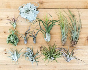 Jumbo Tillandsia Air Plants - Includes 1 Xerographica + 11 XL Plants - 30 Day Air Plant Guarantee - FAST SHIPPING