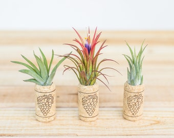 Trio of Wine Cork Magnets with Ionantha Air Plants - Sets of 3, 6, or 9 - Air Plant Holders - 30 Day Air Plant Guarantee - FAST SHIPPING
