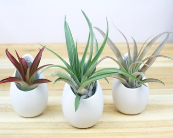 Trio of Small Hanging Ivory Ceramic Containers w/ Assorted Air Plants - Tillandsia Air Plant Containers - FAST SHIPPING - Air Plant Display
