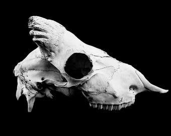 in profile - sheep skull profile black and white still life