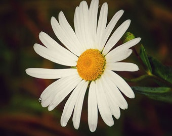 Daisy Print, Daisy Photo, Daisy, Daisy Picture, Yellow Daisy Print, Yellow Daisy Photo, Daisy Photography, Flower Print, Flower Picture