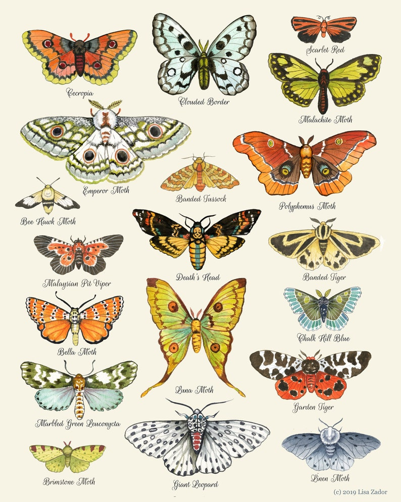 Moth Chart Print Moth Art Moth Poster Insect Art image 0