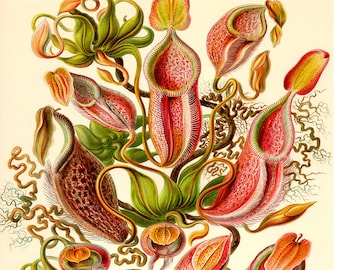 Botanical Print, Botanical Poster, Ernst Haeckel Nepenthes Illustration, Botanical Wall Art, Venus Flytrap, Pitcher Plant, Carnivorous Plant