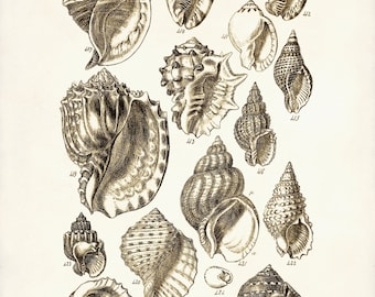 Seashells Poster Seashells Art Print George Sowerby Seashell
