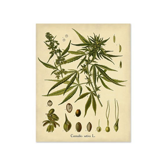3 Poster in 3 Sizes Botanical Illustration of Cannabis Sativa
