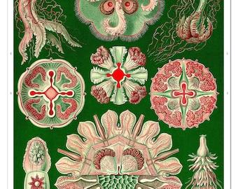 Ernst Haeckel Jellyfish Art Print, Jellyfish Poster in Green, Educational Chart