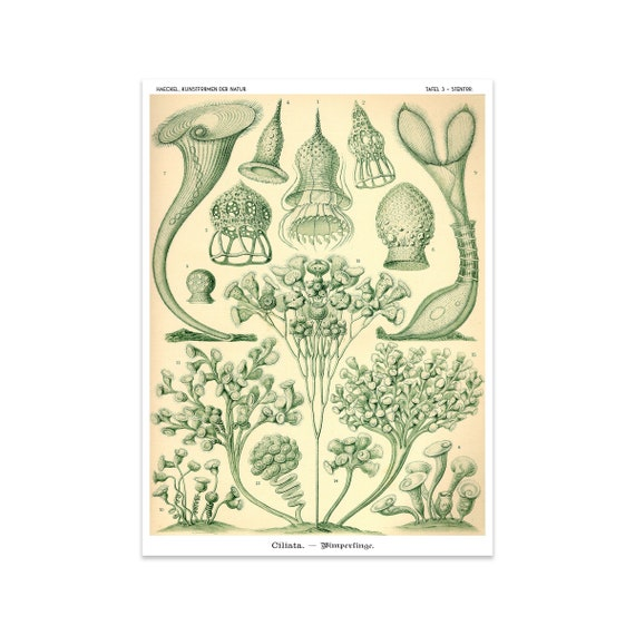 "/""Art Forms in Nature/"" Poster Prints /& Nature Illustrations of Ernst Haekel A5+"