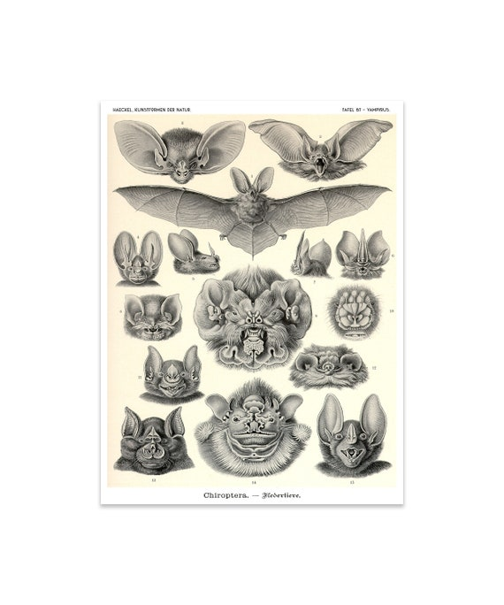 bats print vampire bats poster art nouveau ernst haeckel etsy
