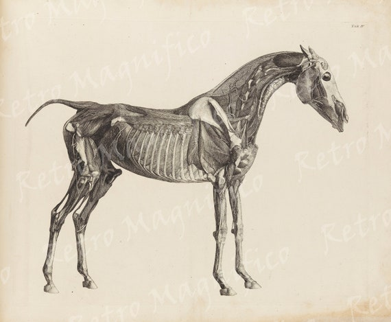 Horse Anatomy Muscles Bones From 1800 Two Vintage Digital Etsy