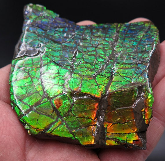 High flash 2.5 inch Ammolite from Korite Mine, Alberta, Canada. Comes with COA