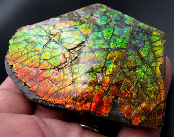 Large 3.25 by 2.25 inch Ammolite Gem Fossil. High flash plate with COA. Mined at the Korite Mine, Alberta, Canada