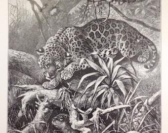 Antique print jaguar feline big cat mammal wildlife 1890s biology nature lithograph Specht