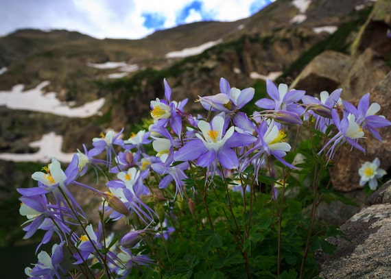 Columbines Flower Photography Fine Art Photography Etsy