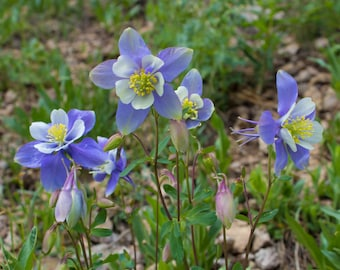 Columbines, Flower Photography, Fine Art Photography, Colorado, Wall Art, Purple, Nature, Colorado State Flower, Spring, Colorful