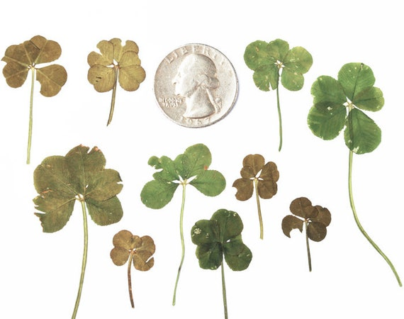 Real 5 Leaf Clover Lucky Pressed Flower 10 Five