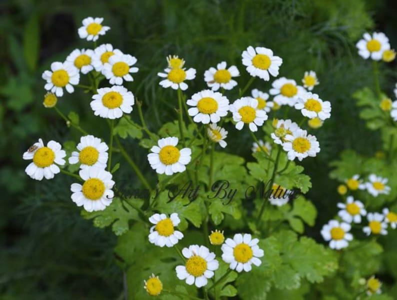 Pressed Flower Earrings Real Daisy Resin Earrings Botanical Nature Jewelry