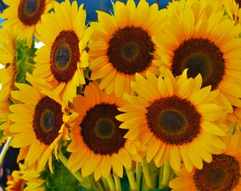 Nature Photography-Sunflowers At The Market-Travel, Fine Art, Floral, Flower, Botanical, Garden, Southern Photography