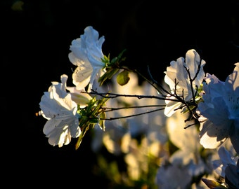 Nature Photography - Azalea's In The Evening Light - Southern, Charleston, Travel, South Carolina, Garden, Plant, Flower, Fine Art Photo