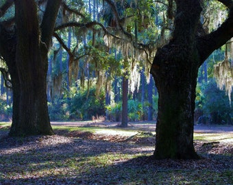 Nature Photography - Draped in Spanish Moss - Savannah, Georgia - Landscape, Southern, Travel, Summer, Fine Art Photography