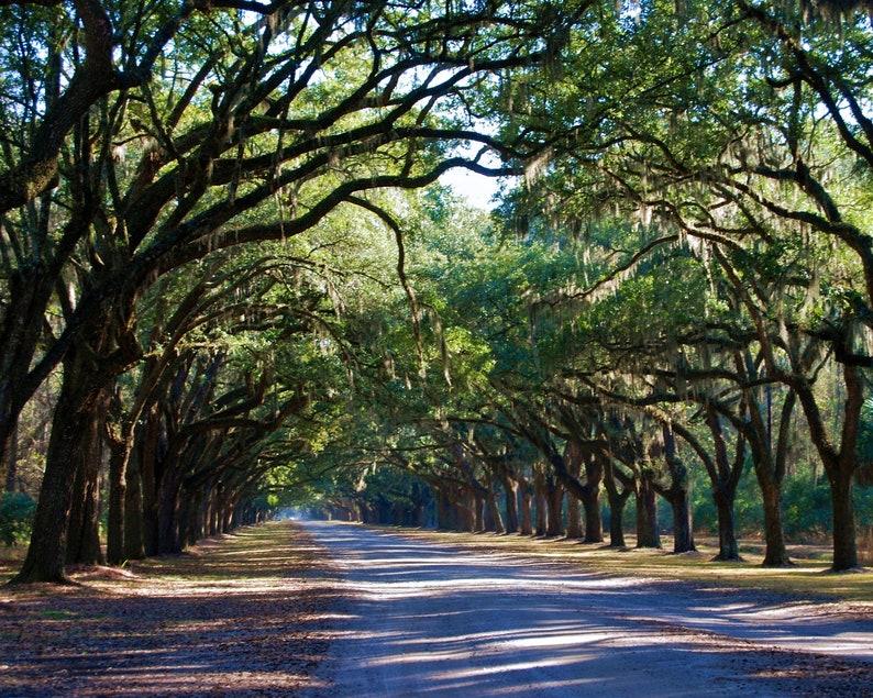 Nature Photography  Savannah's Wormsloe Plantation image 0