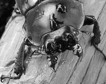 Dung Beetle, Sikkim 2007