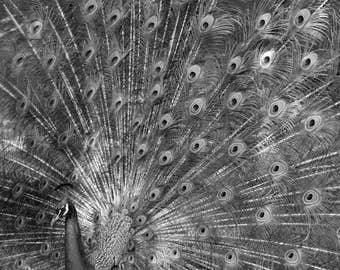 Peacock l