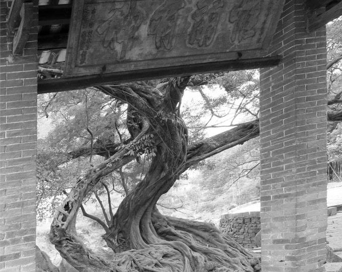 Huang Yao Ancient Bonsai Tree