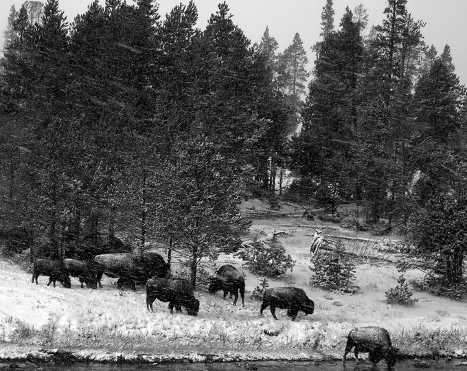 Bison in the Snow, Yellowstone Park, Wyoming