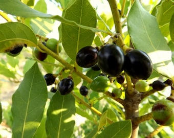 Bay Laurel Tree, Bay Tree 25 Seeds, Laurus nobilis (Daphne Tree, Sweet Bay Laurel Tree)