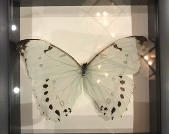 Light blue morpho butterfly taxidermy display