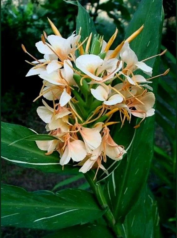 Dr moy plant variegated green white ginger hedychium peach etsy image 0 mightylinksfo