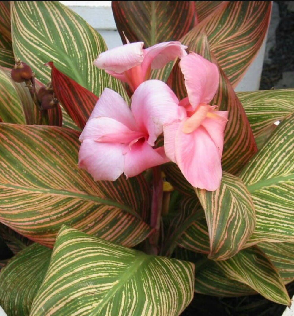 Pink Sunburst Pringle Bay Canna Lily Small Plant Variegated Etsy