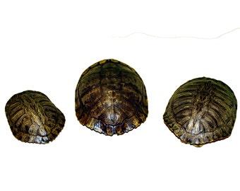 Glacier Wear Red Ear Turtle Shell
