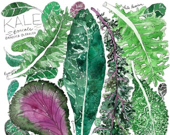 Types of Green and Purple Kale Watercolor Art Print / Garden Kitchen Illustration
